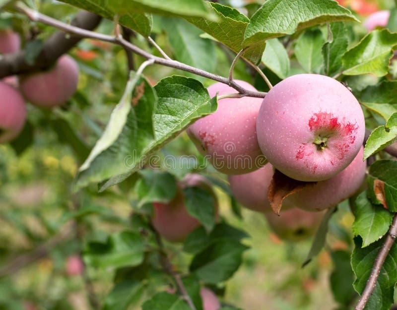 Download οπωρώνας φύλλων καρπών κλάδων μήλων μήλων Στοκ Εικόνα - εικόνα από κατανάλωση, τομέας: 62704271