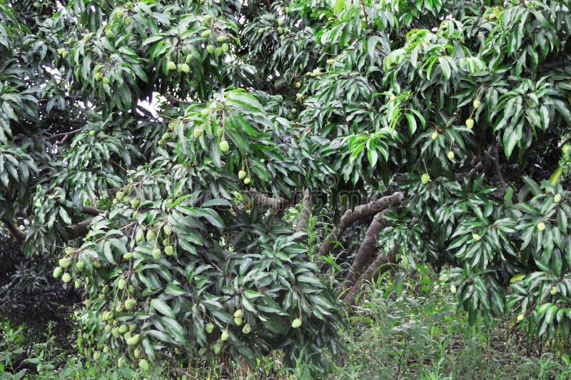 οπωρώνας lychee στοκ φωτογραφία