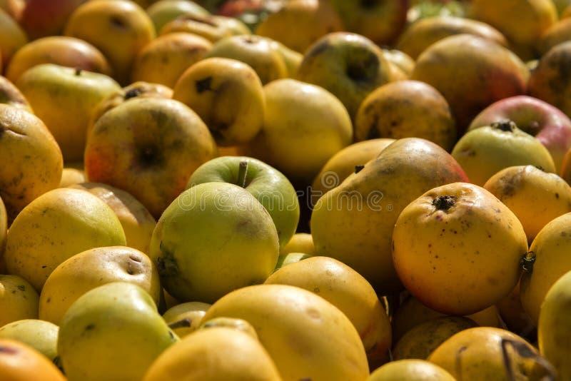 Οργανικά μήλα από το λιβάδι αναπάντεχου κέρδους ως υπόβαθρο φθινοπώρου στοκ φωτογραφία