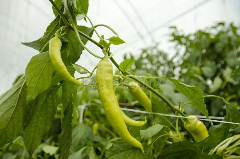 Οργανικά πράσινα καυτά πιπέρια στοκ εικόνες