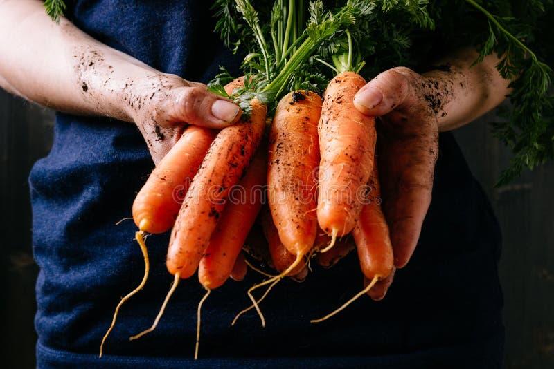 Οργανικά φρέσκα συγκομισμένα λαχανικά Χέρια της Farmer ` s που κρατούν τα φρέσκα καρότα, κινηματογράφηση σε πρώτο πλάνο στοκ εικόνα
