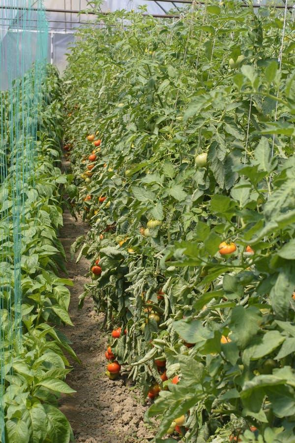 Οργανικές ντομάτες στο θερμοκήπιο στοκ φωτογραφία με δικαίωμα ελεύθερης χρήσης