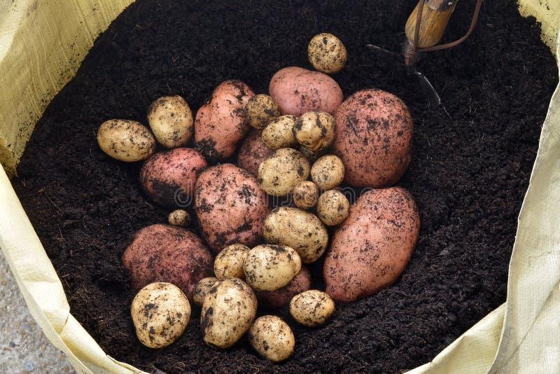 οργανικές πατάτες στοκ εικόνες