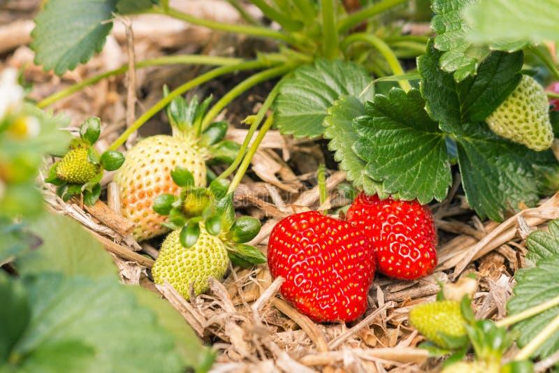 Οργανικές φράουλες που αυξάνονται στο άχυρο στον κήπο στοκ φωτογραφία με δικαίωμα ελεύθερης χρήσης