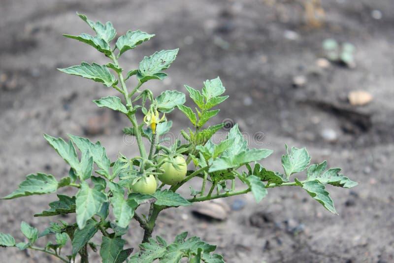 Οργανική ντομάτα του Μπους στοκ φωτογραφία