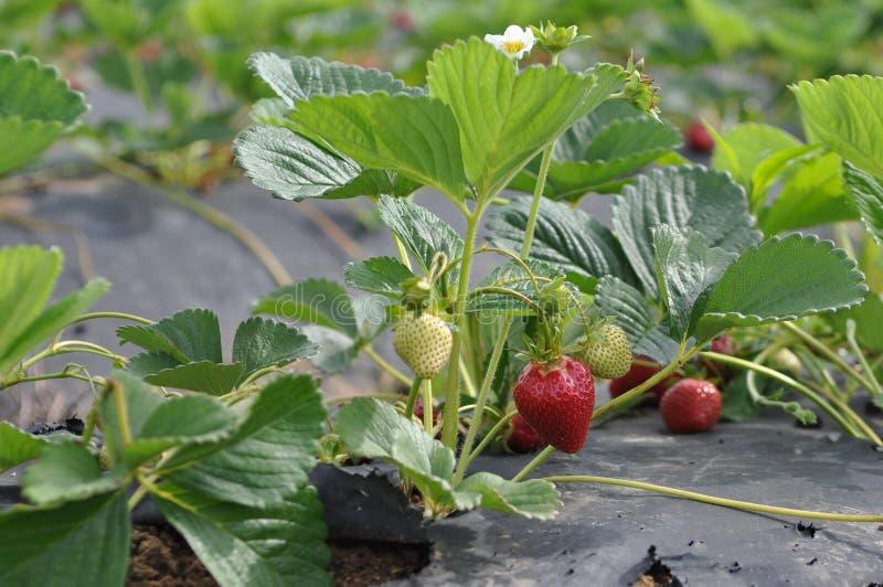 οργανική φράουλα πεδίων &Kapp στοκ εικόνες
