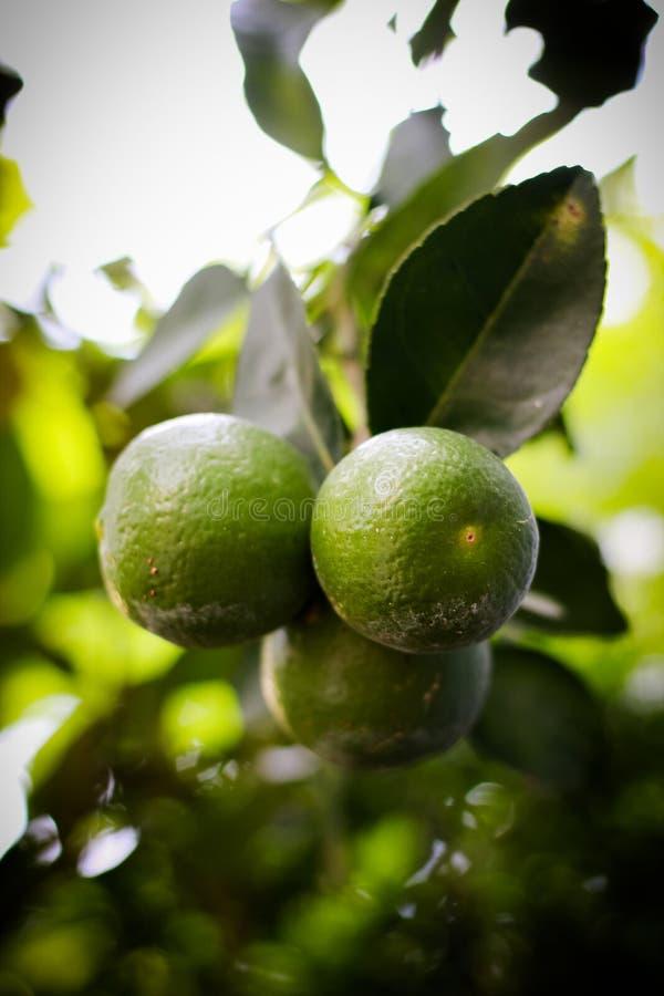 οργανικός ασβέστης με τα πράσινα φύλλα στο δέντρο στοκ εικόνες με δικαίωμα ελεύθερης χρήσης