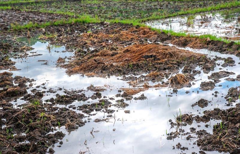 Οργανικός ορυζώνας ρυζιού που καλλιεργεί ως βιώσιμη ανάπτυξη περιβάλλοντος Τομέας ρυζιού μετά από τη συγκομιδή και το αριστερό πέ στοκ εικόνες