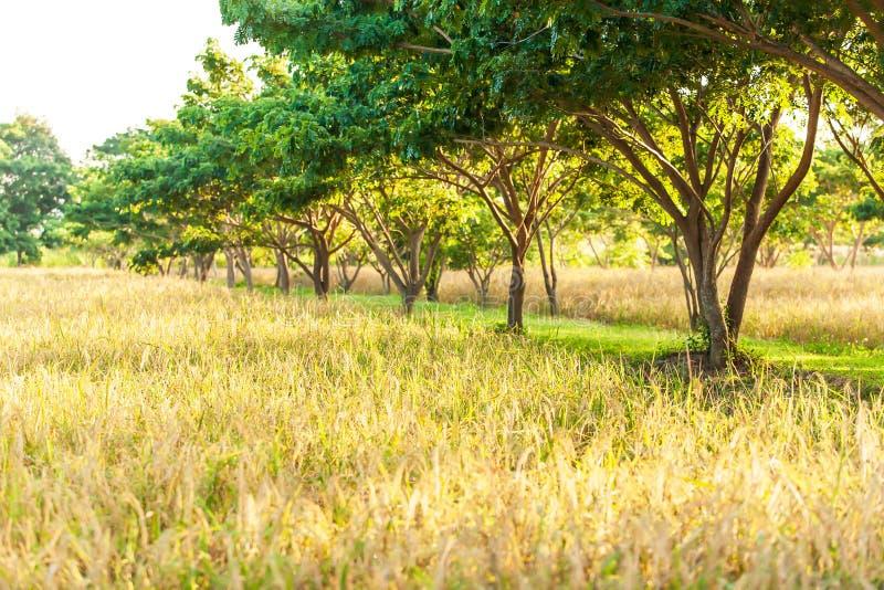 Οργανικός τομέας ορυζώνα τοπίου στην ανατολή, φυτεία ρυζιού στη σκιά των τροπικών δέντρων Χρυσά αυτιά του ορυζώνα στο καλοκαίρι στοκ εικόνες
