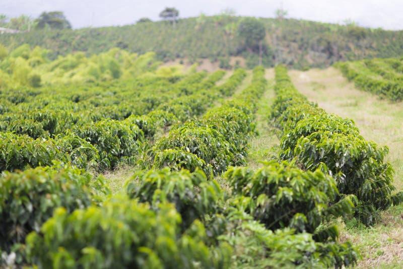 Οργανικό αγρόκτημα καφέ στοκ εικόνα με δικαίωμα ελεύθερης χρήσης
