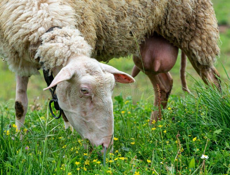 Οργανικό αγρόκτημα τυριών, πρόβατα που βόσκει την πράσινη χλόη στο λιβάδι στην Ελλάδα στοκ φωτογραφία