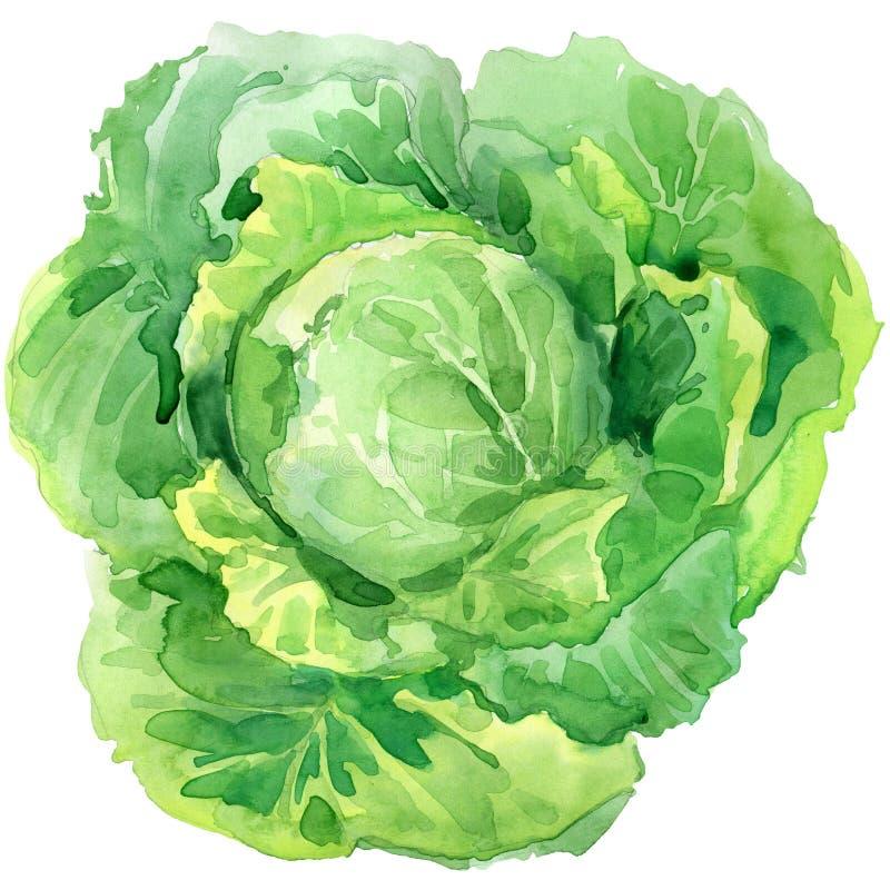 οργανικό λαχανικό λάχανων η διακοσμητική εικόνα απεικόνισης πετάγματος ραμφών το κομμάτι εγγράφου της καταπίνει το watercolor ελεύθερη απεικόνιση δικαιώματος