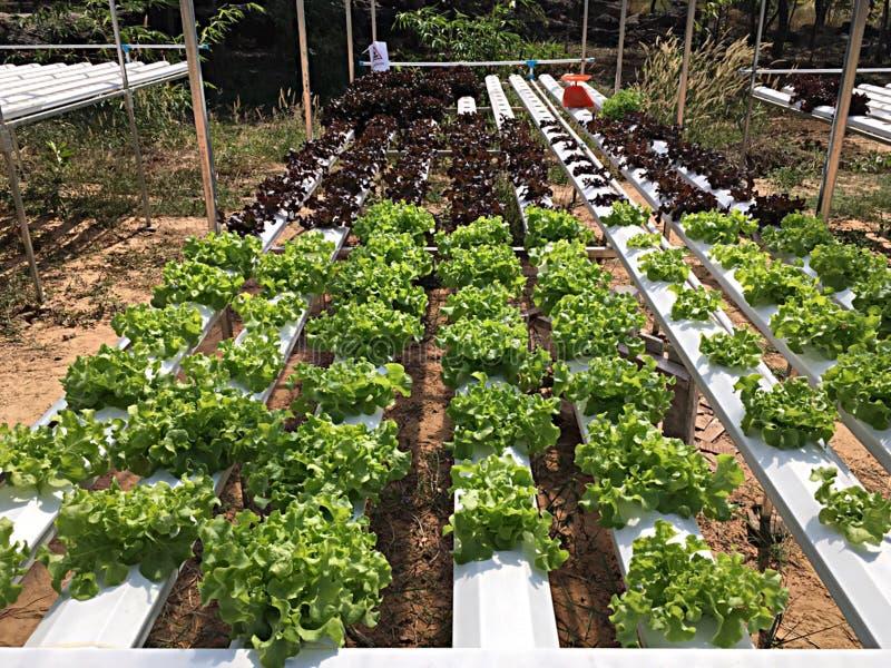 οργανικό λαχανικό στοκ εικόνες με δικαίωμα ελεύθερης χρήσης