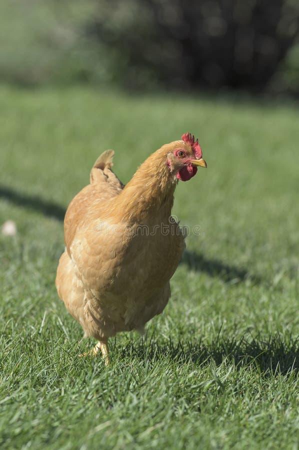 Download Οργανικό ελεύθερο κοτόπουλο σειράς Στοκ Εικόνα - εικόνα από κρέας, ελεύθερος: 62723233