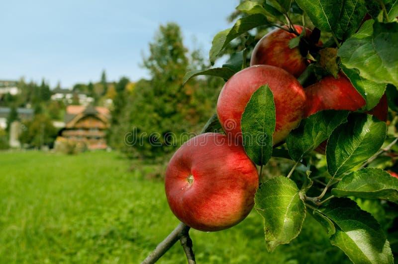 οργανικό κόκκινο μήλων στοκ φωτογραφίες με δικαίωμα ελεύθερης χρήσης