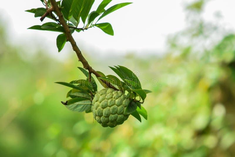 Οργανικό μήλο αγροτικής φρέσκο κρέμας στοκ εικόνα με δικαίωμα ελεύθερης χρήσης