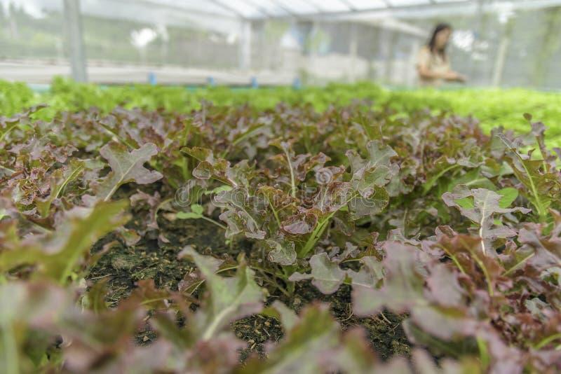 Οργανικό φυτικό, πράσινο μαρούλι κύπελλων σαλάτας στις πλοκές για τα υγιή τρόφιμα στοκ εικόνες