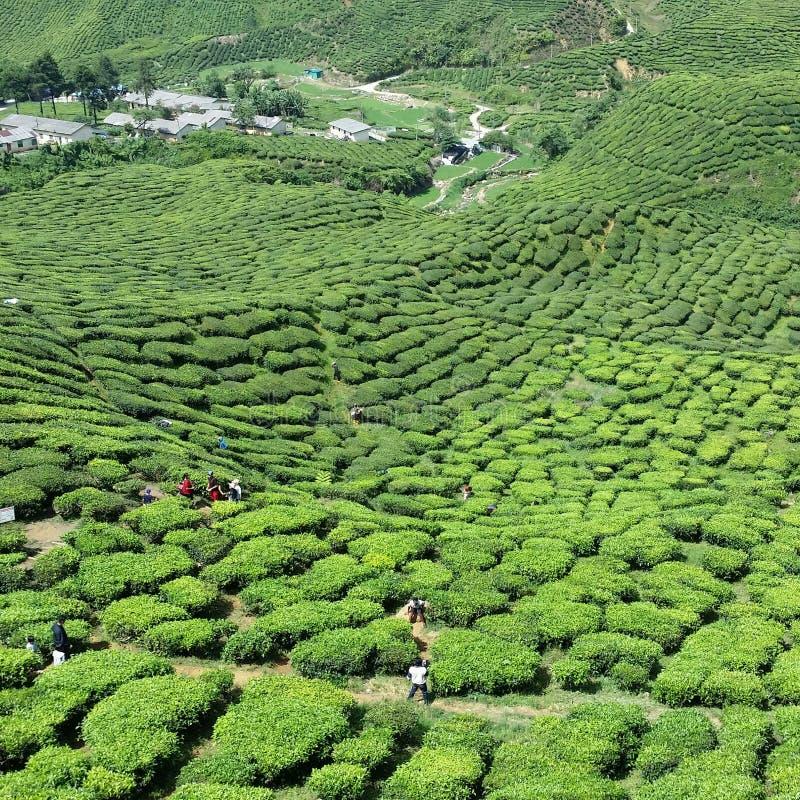 Ορεινές περιοχές cameran φυτειών τσαγιού _ στοκ φωτογραφία με δικαίωμα ελεύθερης χρήσης
