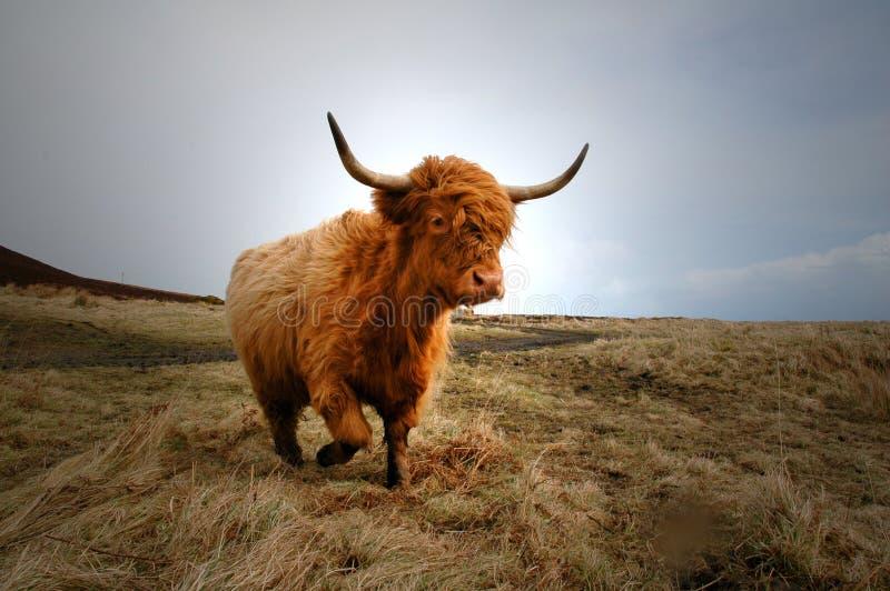 ορεινή περιοχή 4 αγελάδων στοκ εικόνες