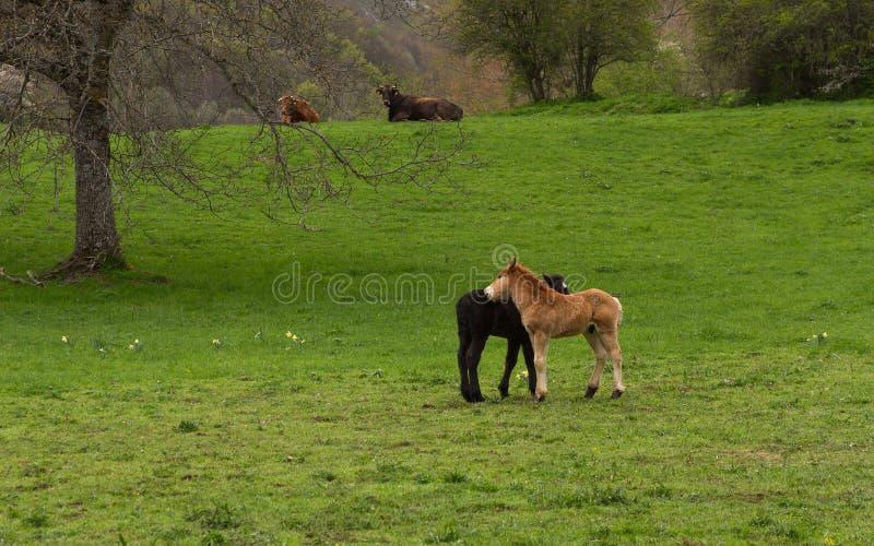 Ορεινό τοπίο με τις αγελάδες και τα πουλάρια στοκ εικόνα