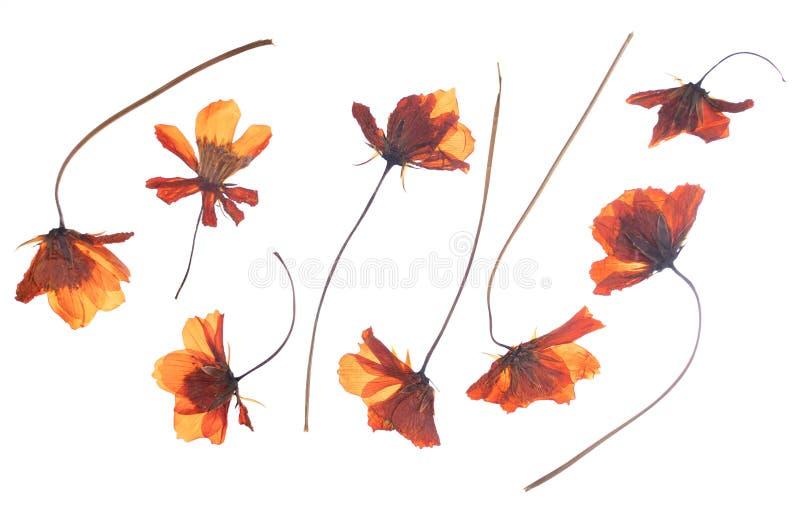 Οριζόντια πιεσμένο ξηρό λουλούδι που απομονώνεται στο λευκό στοκ φωτογραφία με δικαίωμα ελεύθερης χρήσης