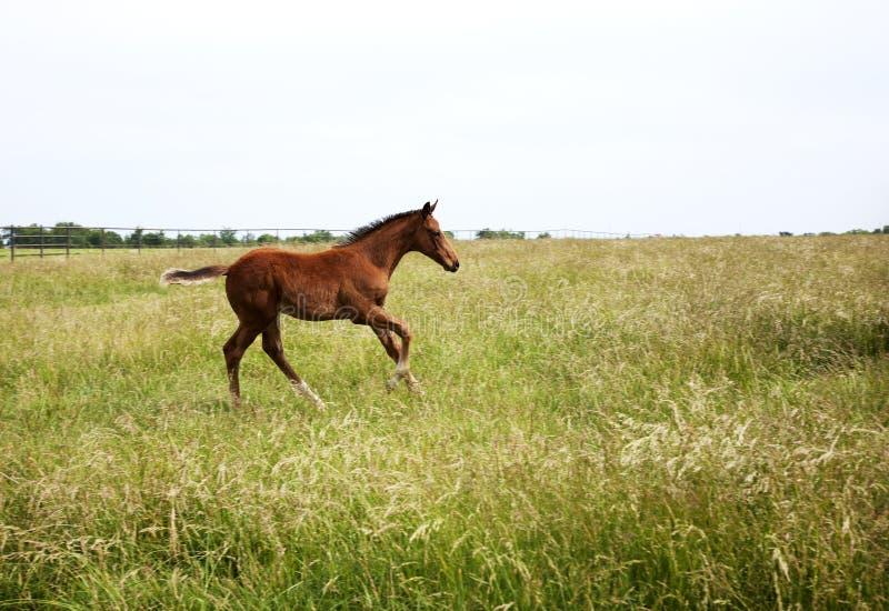 Οριζόντιο foal εικόνας χρώματος που τρέχει στον τομέα στοκ φωτογραφία