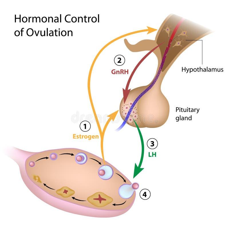 Ορμονικός έλεγχος της ωοθυλακιορρηξίας διανυσματική απεικόνιση