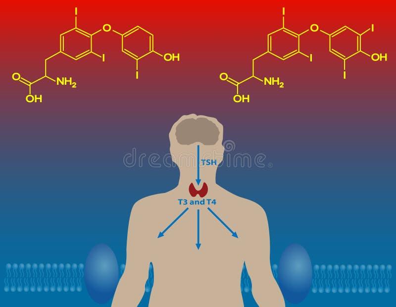 Ορμόνες θυροειδή διανυσματική απεικόνιση