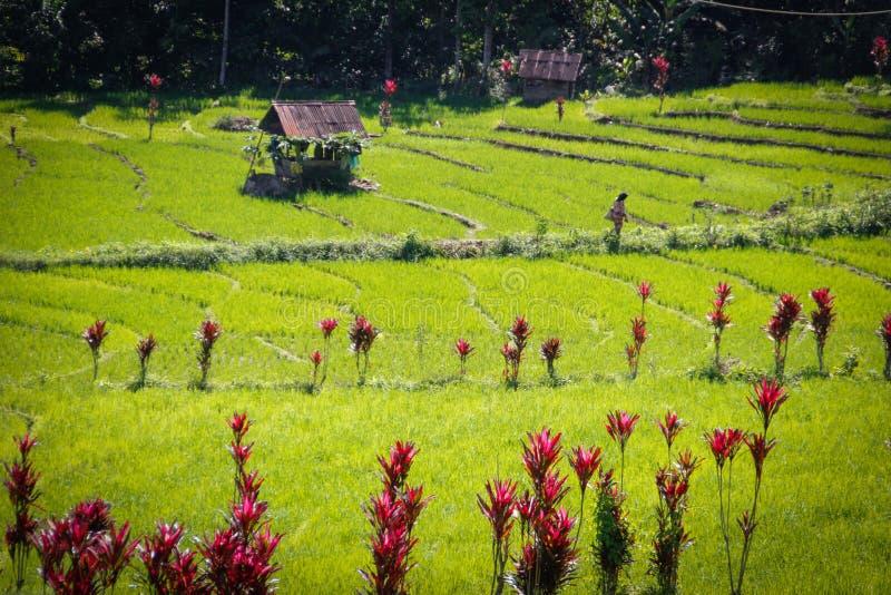 Ορυζώνες ρυζιού και παραδοσιακά ινδονησιακά σπίτια σε Sumatra στοκ εικόνα