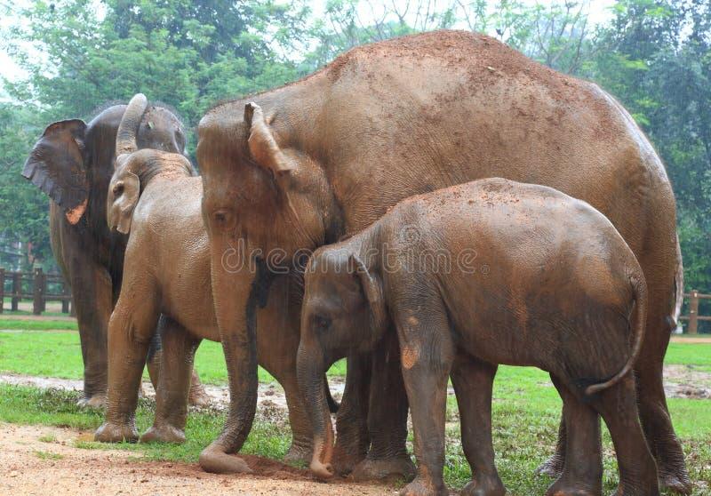 Ορφανοτροφείο ελεφάντων, Σρι Λάνκα στοκ εικόνα με δικαίωμα ελεύθερης χρήσης