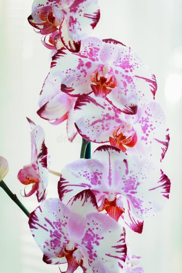 Ορχιδέες λουλουδιών σε ένα άσπρο υπόβαθρο ανθίζοντας orchid στοκ εικόνες με δικαίωμα ελεύθερης χρήσης