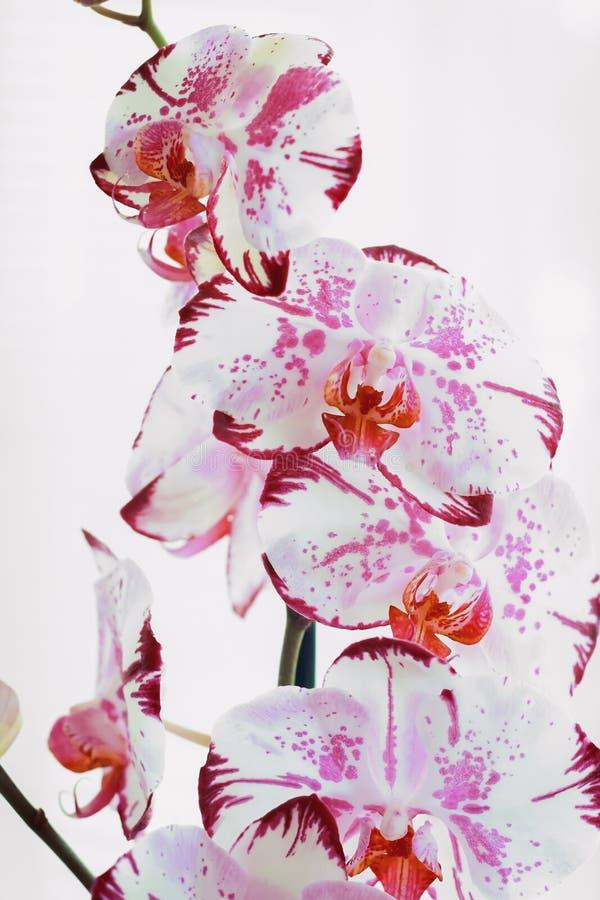 Ορχιδέες λουλουδιών σε ένα άσπρο υπόβαθρο ανθίζοντας orchid στοκ φωτογραφίες