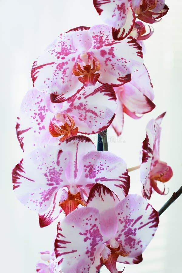 Ορχιδέες λουλουδιών σε ένα άσπρο υπόβαθρο ανθίζοντας orchid στοκ εικόνα με δικαίωμα ελεύθερης χρήσης