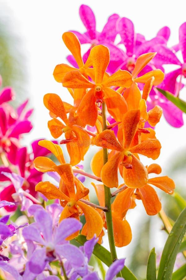 Ορχιδέες πορτοκαλί, Μοκάρα, Βάντα στοκ εικόνες με δικαίωμα ελεύθερης χρήσης