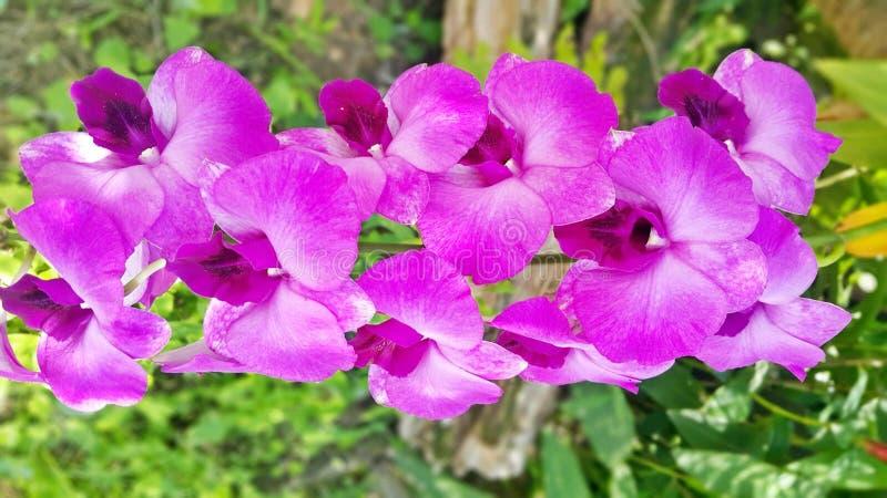 Ορχιδέα Dendrobium στοκ εικόνες με δικαίωμα ελεύθερης χρήσης