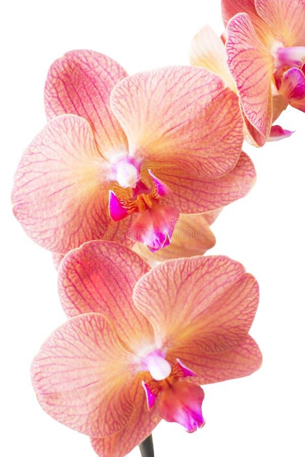 Ορχιδέα orchid λουλουδιών όμορφο orchid λουλουδιών στοκ φωτογραφία