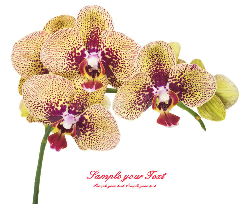 Ορχιδέα orchid λουλουδιών όμορφο orchid λουλουδιών στοκ εικόνα με δικαίωμα ελεύθερης χρήσης