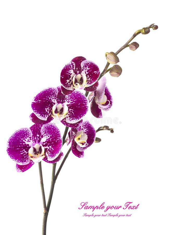 Ορχιδέα orchid λουλουδιών όμορφο orchid λουλουδιών στοκ φωτογραφίες με δικαίωμα ελεύθερης χρήσης