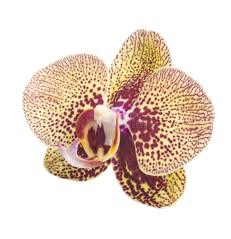 Ορχιδέα orchid λουλουδιών όμορφο orchid λουλουδιών στοκ εικόνες με δικαίωμα ελεύθερης χρήσης