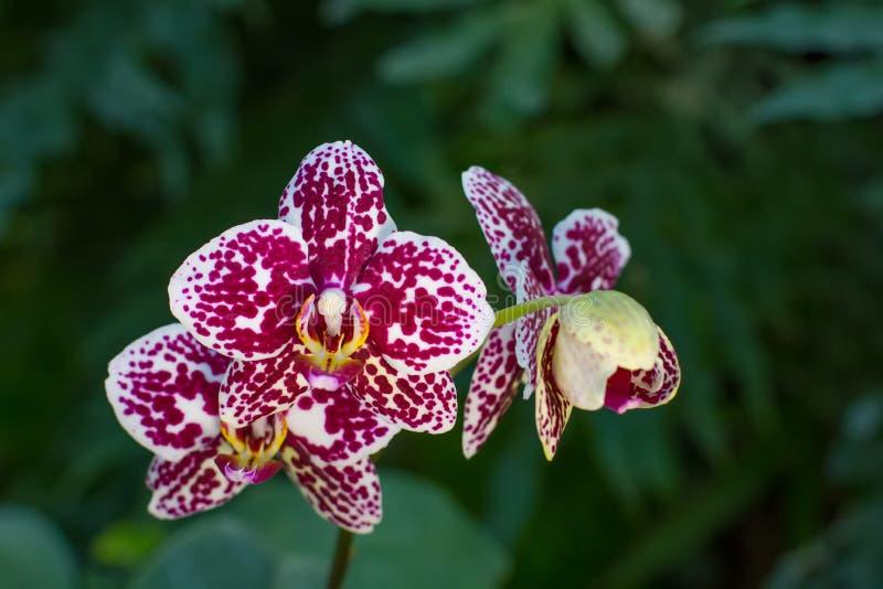 Ορχιδέα Phalaenopsis διάστικτη στοκ εικόνα