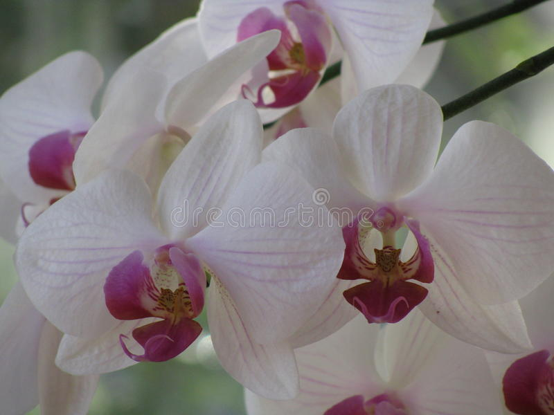 Ορχιδέα Phalaenopsis διανυσματική απεικόνιση
