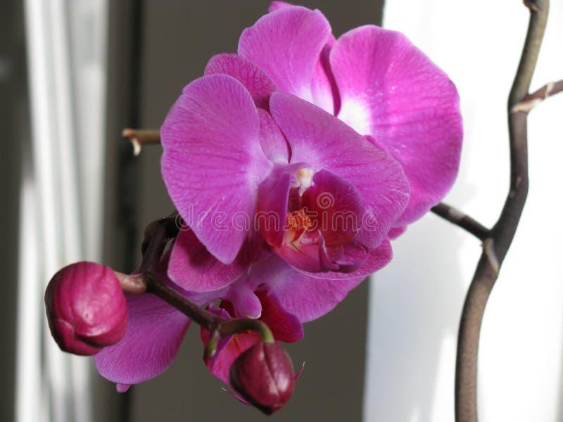 Ορχιδέα Phalaenopsis απεικόνιση αποθεμάτων