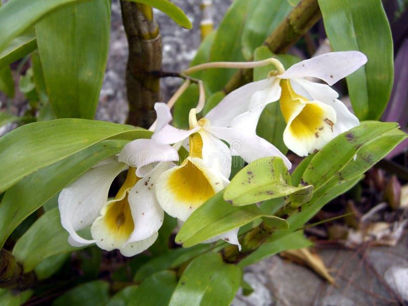 Ορχιδέες trinervis Coelogyne, άγριες ορχιδέες στο δάσος στοκ εικόνα