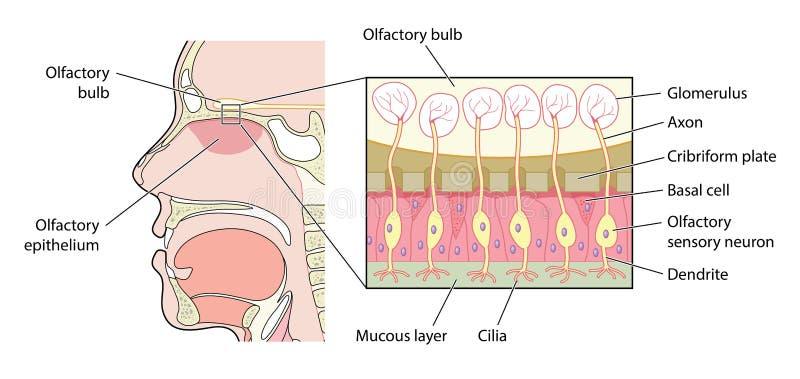Οσφρητική λεπτομέρεια βολβών διανυσματική απεικόνιση