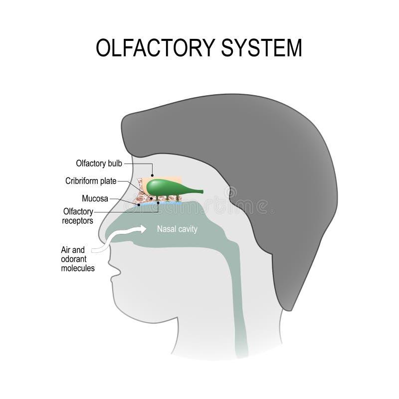 Οσφρητικό σύστημα διανυσματική απεικόνιση