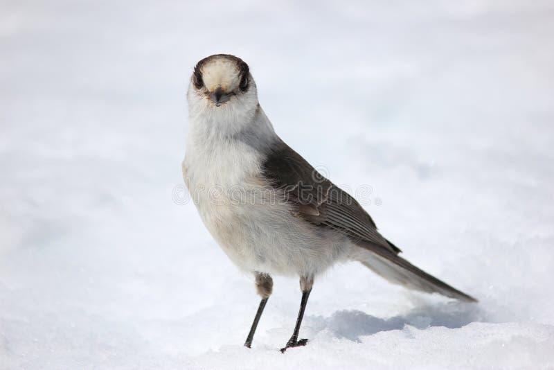 Ουίσκυ Jack στο χιόνι στοκ εικόνες με δικαίωμα ελεύθερης χρήσης