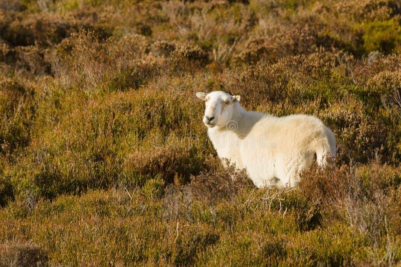 Ουαλλέζικα πρόβατα βουνών στοκ φωτογραφία με δικαίωμα ελεύθερης χρήσης