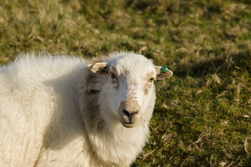 Ουαλλέζικα πρόβατα βουνών στοκ εικόνες