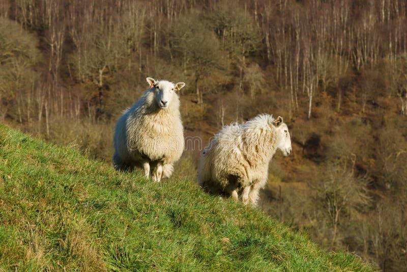 Ουαλλέζικα πρόβατα βουνών στοκ εικόνα