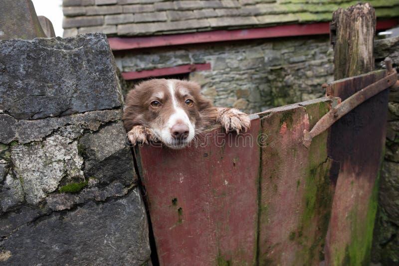 Ουαλλέζικο τσοπανόσκυλο που κοιτάζει αδιάκριτα πέρα από την πύλη outhouse της στοκ εικόνες